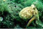 Octopus-Sml
