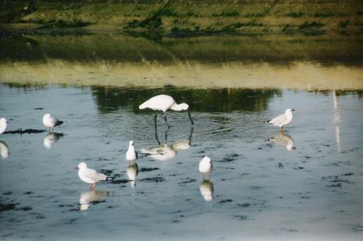 SeagullsSpoonbill