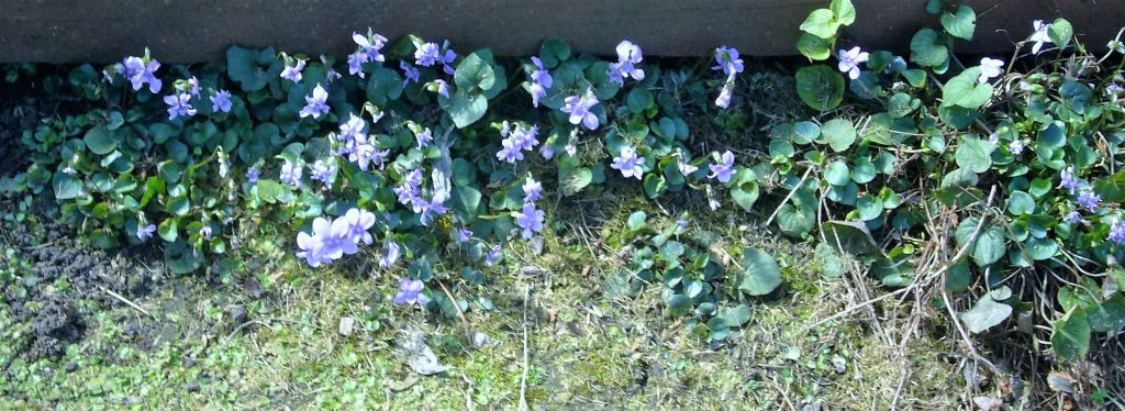 Native violets - growing everywhere.