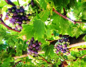 Beautiful purple grapes.